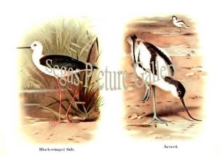 Black-winged Stilt & Avocet
